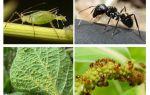 Type relatie van mieren en bladluizen
