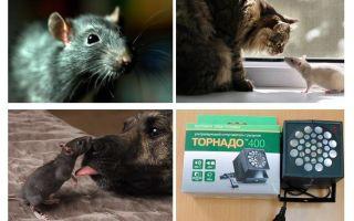 Waar zijn ratten en muizen bang voor?