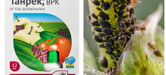 Tanrek-remedie voor bladluizen en witte vlieg