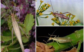 Beschrijving en foto's van de Crimean cricket