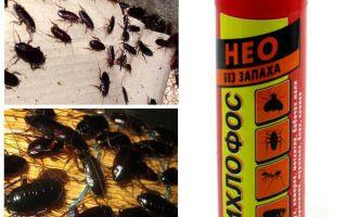 Helpt dichloorvos van kakkerlakken - hoe te vergiftigen