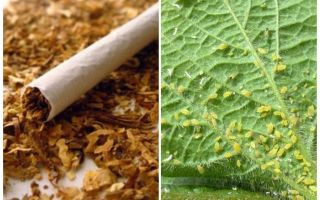 Tabak tegen bladluizen