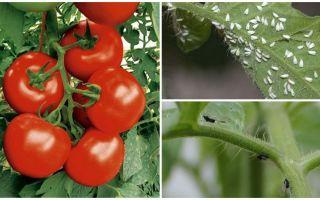 Hoe tomaten van witte en zwarte vliegen te verwerken