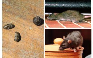Hoe om te gaan met ratten in het appartement
