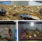 Aquarium voor sissende kakkerlakken in Madagaskar