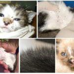 Vlooien bij katten en kittens