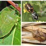 Pest bugs