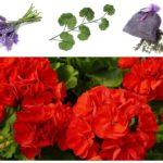 Lavendel en Geranium