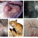 Symptomen van vlooien bij katten