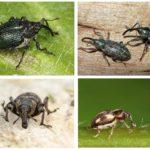 Weevils-1