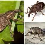 Weevils-2