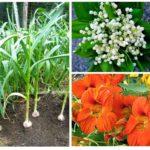 Planten van aardbeienkever