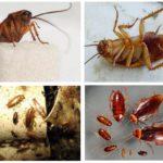 Rode kakkerlak