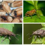 Weevil-soorten