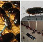 Zwarte kakkerlakken