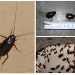 Zwarte kakkerlakken-2