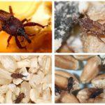 Snuitkevers in het huis