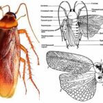 Kakkerlak vleugels