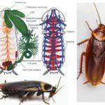 Kakkerlak structuur