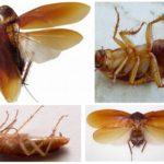 Kakkerlaklichaamstructuur