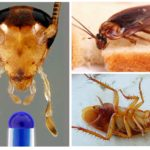 Kakkerlakken kunnen zonder hoofd leven