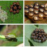 Woodbug eieren
