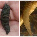 Water larven larven