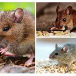 Wat eten muizen?