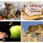 Wat eet de muis?