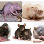 Decoratieve ratten