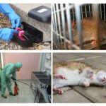 Uitroeiing van ratten en muizen