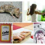 Ontdoe je van de geur van een dode rat