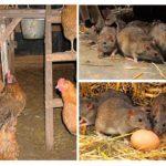 Ratten in het kippenhok