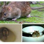 Rat in het toilet