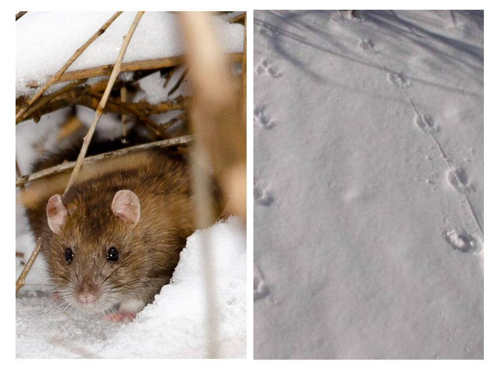 Rat in de winter