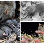 Rat met ratten