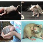 Rattenjongen