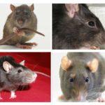 Visuele oriëntatie van ratten
