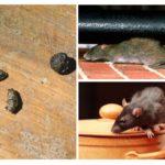 Ratten in het appartement