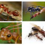 Ant lichaam