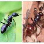 Ant-koningin
