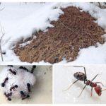 Mierenhoop in de winter