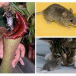 Muizen als voedsel