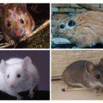 Gemalen muizen