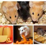 Voedsel voor binnenlandse knaagdieren