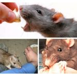 Rattenbeet gedrag