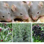 Kruiden van muizen