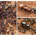 Ant familie