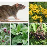 Rattenplanten