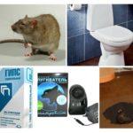 Uitroeiing van ratten